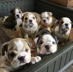 How to feed a bulldog? by L&G PET Photo by Craig Adderley from Pexels In fact, the diet structure of the Bulldog is differen. Cute Bulldog Puppies, Baby Bulldogs, Cute Bulldogs, English Bulldog Puppies, Puppies And Kitties, Doggies, British Bulldog, Baby English Bulldogs, Funny Bulldog