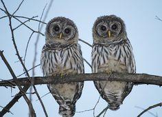 Barred Owl.  http://duncraft.atom5.com/barred-owls-3542.html