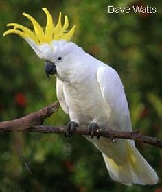 One of my future pets - the Sulphur Crested Cockatoo!