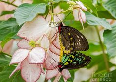 Animal Greeting Card featuring the photograph Cairns Birdwings Mating by Christine Reinhart