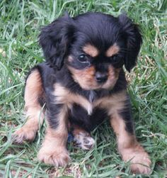 Cavalier King Charles Spaniel heehee so cute! this is the kind of dog i would get if i ever wanted one... (but i dont lol)