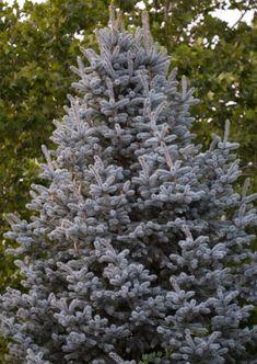 Evergreen Trees, Trees And Shrubs, Trees To Plant, Evergreen Landscape, Flower Landscape, Landscape Design, Garden Trees, Garden Plants, Dwarf Alberta Spruce