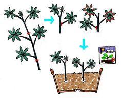 シェフレラ・アルボリコラ(Scefflera arboricola)の育て方/住友化学園芸