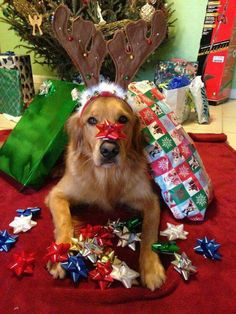 ♥ I promise, Im the best Christmas gift under the tree this year - Amazing Diy Gifts Dog Christmas Pictures, Cute Christmas Gifts, Christmas Puppy, Christmas Animals, Christmas Cats, Merry Christmas, Dog Photos, Dog Pictures, Family Pictures
