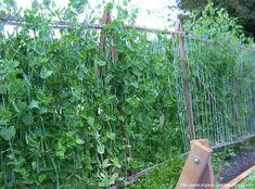 Growing Peas: Snap Peas....snow peas are easy to grow and using this vertical growing technique saves space in small yards