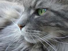 Wallpapers Warrior Cats Gray Cat With Green Eyes Turkish Angora Cat, Angora Cats, Warrior Cats, Old Cats, Cats And Kittens, I Love Cats, Cute Cats, Neko, Grey Tabby Cats