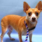 PEPE TO BE DESTROYED - 10/04/16‼️ - Super Urgent Manhattan - PEPE – #A0920943 - NEUTERED MALE TAN/CREAM CHIHUAHUA SH MIX, 6 Ys - OWNER SUR - ONHOLDHERE, HOLD FOR ID Reason MOVE2PRIVA - Intake 09/28/16 Due Out 10/01/16 - SLIGHTLY SCARED AND TENSE