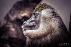 Monkey by Jörg Schumacher | einfachMedien.de on 500px
