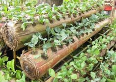 This is an ideal way of reusing a fallen banana tree in farming. The banana stalk has a high water content and remains that way for 6-8 weeks. this is also an excellent choice for growing cash crops that takes a short time to mature.