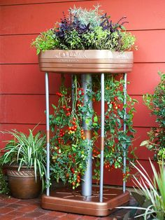 Patio garden with upside-down hanging tomatoes.:
