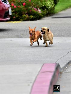 Pets on Street Comebacks, Corgi, In This Moment, Belt, Running, Street, Animals, Belts, Corgis