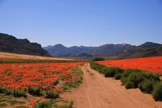 Photo Arthur Benjamin Cloete Landscape Paintings, Landscapes, Daisy Field, Spring Flowering Bulbs, Cape Town South Africa, Trees To Plant, Wild Flowers, Fields, National Parks
