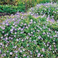 At the front of a border, Rozanne geraniums can provide spring-to-fall color. With violet petals around a white center, these can grow to 18 inches high and 2 feet wide; USDA Hardiness Zones 5 to 8. See more stellar plants that add curb appeal here. | Photo: Joshua McCullough/Getty Images | thisoldhouse.com