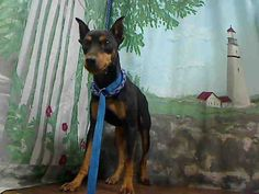 ID#A442221 I am described as a male, black and tan Miniature Pinscher mix. The shelter thinks I am about 1 year and 7 months old. I have been at the shelter since Oct 29, 2014 and I am available for adoption now! If you think I am your missing pet, please call or visit right away. Otherwise, please visit me in person as shelter staff are busy caring for my needs.