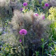 foeniculum vulgare allium persicarium - Yahoo Image Search Results