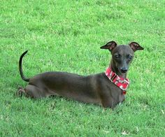 Italian Greyhound Wallpapers, Pictures & Breed Information