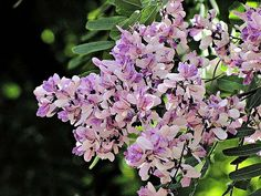 Flowers of the Brazilian tree  Sucupira-branca Pterodon emarginatus