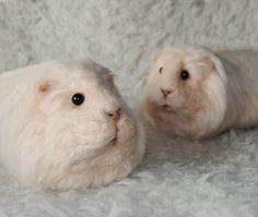 Needle Felted Guinea Pig  Needle Felted Pet Sculpture  by willane, $115.00