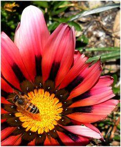 A Honey bee collecting pollen from a Gazenia flower.