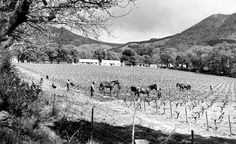 Cultivating Vineyards at Groot Constantia - 1952 History Of Wine, Table Mountain, Places Of Interest, African History, Cape Town, Homeland, Old Photos, South Africa, Past