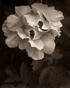 Paeoni Dreamy Photography, Black And White Photography, Nature Photography, Flower Photography, Big Flowers, Amazing Flowers, Fine Art Photo, Photo Art, Midnight Garden