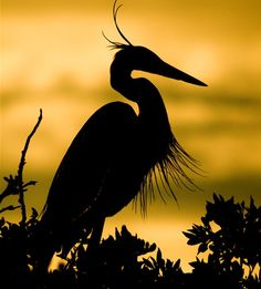 egret at sunrise. Nature Animals, Animals And Pets, Silhouettes, Sunset Silhouette, Silhouette Photography, All Birds, Tier Fotos, Blue Heron, Colorful Birds