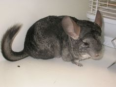 Chinchilla - long-tailed, Chilean, coastal, common or lesser Rodents, Chinchilla, Rabbits, Mammals, Coastal, Bird, Animals, Chinchillas, Rabbit