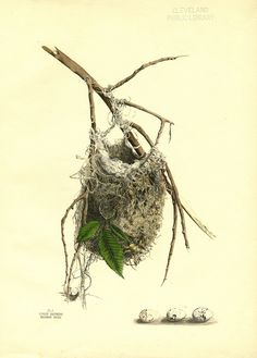 Bird Nest Print 21 Beautiful Antique Art Room Decoration Wall Art to Frame Tree Branch Natural Science Forest Nature Antique Illustration, Bird Illustration, Botanical Illustration, Botanical Drawings, Botanical Prints, Science Illustration, Nature Illustrations, Vintage Illustrations, Merian
