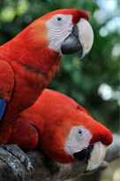 Visiting the Macaw Sanctuary in Costa Rica was one of the highlights of our Panama Cruise.  This bird sanctuary has many different kinds of endangered birds.  The Scarlett Macaws fly freely around the sanctuary.  They are beautiful to watch and to photograph.