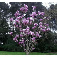 Seen in The Woodlands 02-11-17 Magnolia soulangeana 'Alexandrina' - Deer Resistant - Screen - Boething Treeland Farms