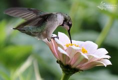 Ruby-throated Hummingbird by: Milana Midler