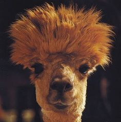 My daughter-in-law really rocks her faux hawk. I, unfortunately, would look like this with a faux hawk!!!