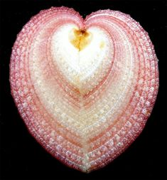heart shaped shell