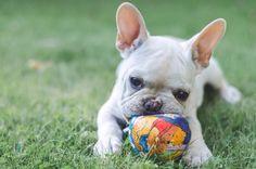 Igor 3 meses  - bulldog frances- frenchi