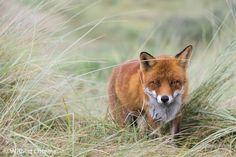 Red Dutch Fox