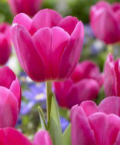 Tulip Barcelona - Triumph Tulips - Tulips - Fall 2014 Flower Bulbs
