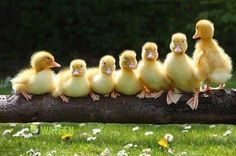 Baby Animals, Funny Animals, Cute Animals, Funny Birds, Funny Animal Pictures, Cute Pictures, Baby Ducks, Tier Fotos, Cute Images