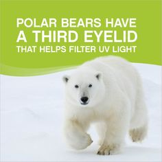 Polar bears have a third eyelid that helps filter UV light. #optometry #facts #animals