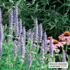 Blue Agastache Blue FortunE CAN MATCH BLOOM TIME AND HEIGHT TO WHITE ECHINECIA THE PEROVSKIA BEHIND AND vEITCH'S BLUE NEXT