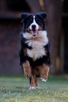 In my dream home i will see this everytime i enter the gate. So in love  Bernese Mountain Dog