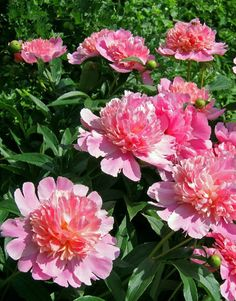 Google Image Result for http://www.countryliving.com/cm/countryliving/images/transplanting-peonies-GEXPERT-de.jpg