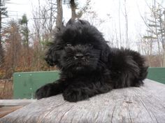 Beautiful Little Shihpoo Puppies