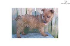 Australian Terrier | australian-terrier-wshipping-on-holddog-australian-terrier-puppy ...