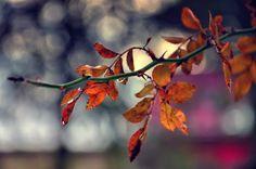 Amber leaves by ralucsernatoni.deviantart.com on @deviantART.....................d