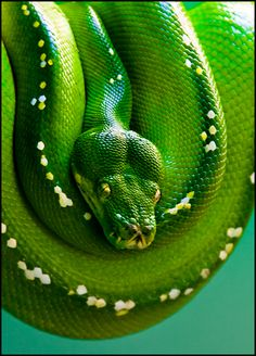 1000 Images About Snakes On Pinterest Python Viper And