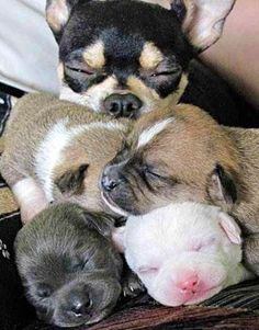 Cute mom and baby chihuahua puppies via www.Facebook.com/CuteChihuahuaFans