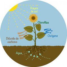 La fotosintesis es el proceso que mantiene la vida en nuestro planeta.