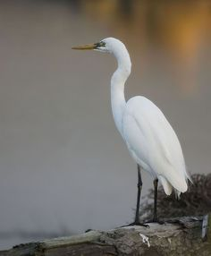 Google Image Result for http://scuffproductions.com/scuff/wp-content/uploads/2012/04/1white_heron_tn.jpg