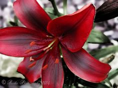 Red Lily by BarbsB
