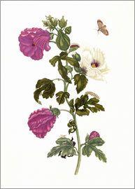Maria Sibylla Merian - Okra (Abelmoschus esculentus)